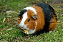 Different types of guinea pig the american breed is a smooth short haired cavy and requires very little grooming it is probably the most popular choice of all guinea pig breeds sciox Gallery